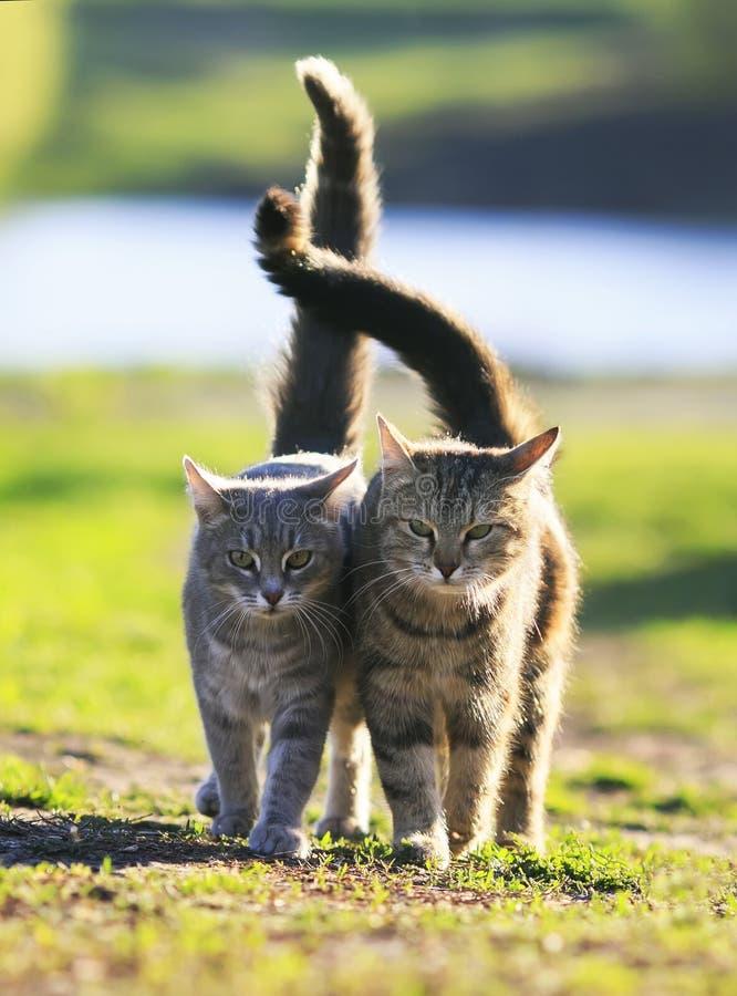 Katt för två vänner som går på grönt gräs bredvid en solig vårdag royaltyfria foton