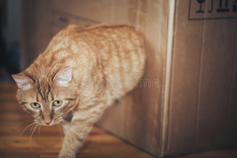 Katt i boxas royaltyfri bild