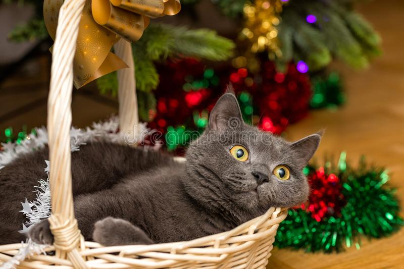 Katt i en korg under en julgran royaltyfri bild