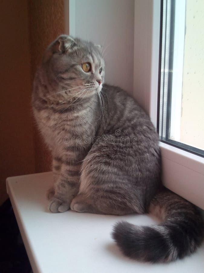 Katt katter, husdjur, skotskt veck arkivfoton