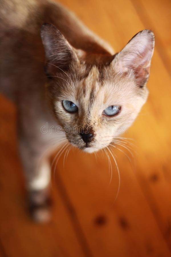 Katt med ögon för blå himmel royaltyfria foton