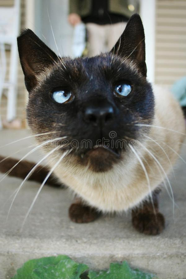 Katt med blåa ögon som ser ursäktande eller förvirrade arkivfoto