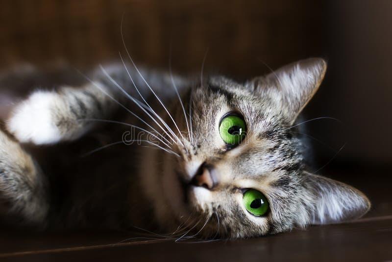 Katt med gröna ögon som vilar, arkivbild