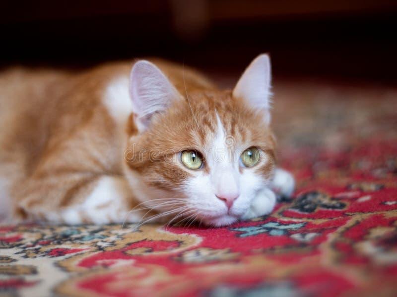 Katt med gröna ögon som vilar på mattan arkivbild