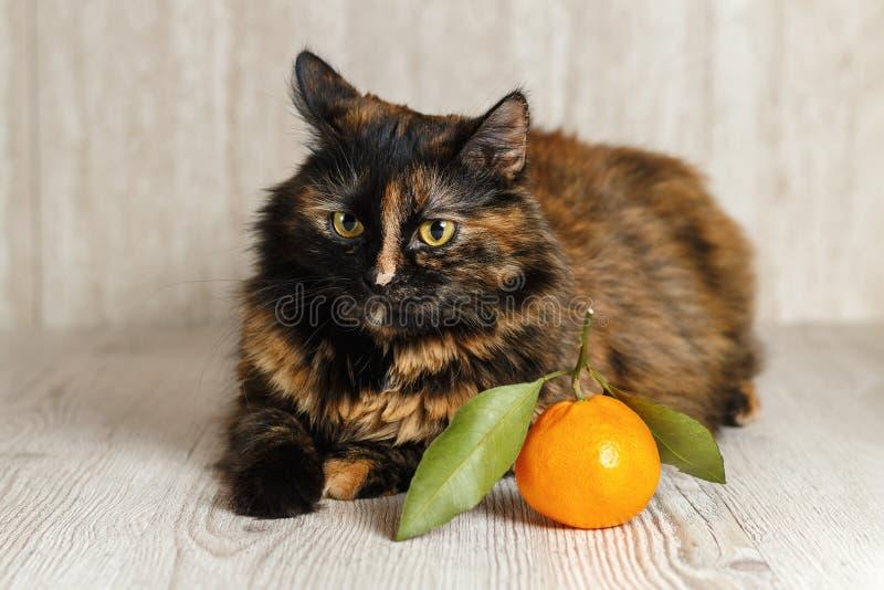 Katt med olyckliga ögon som vänds i väg från mandarinen royaltyfria bilder