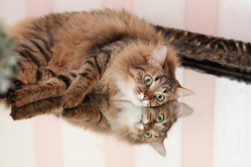 Katt med reflexionen i spegeln royaltyfri bild