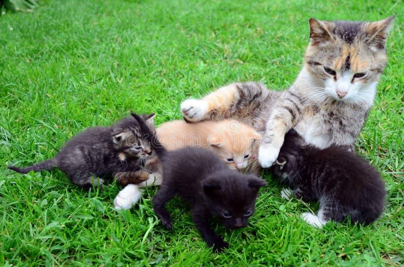 Katt-mum matande kattungar arkivbild