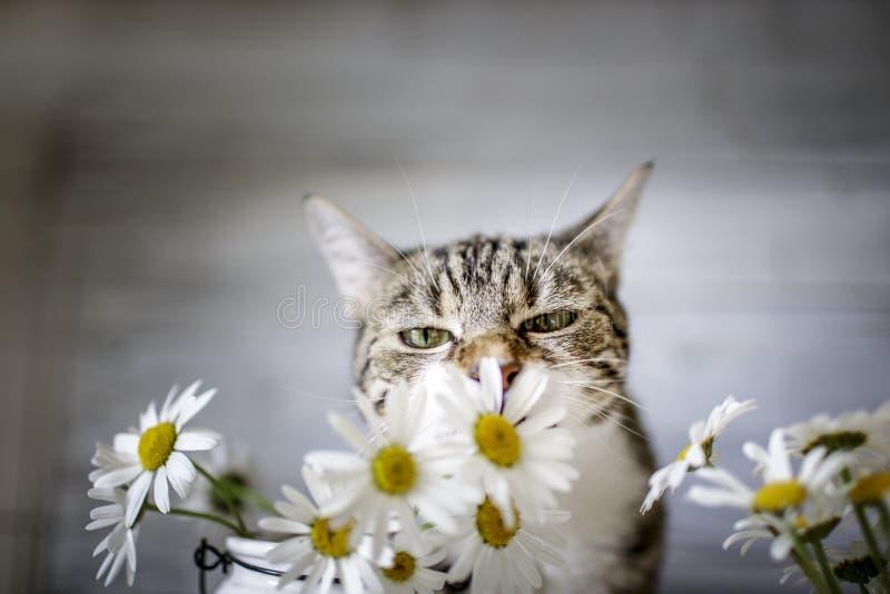 Katt och Daisy Flowers royaltyfri bild