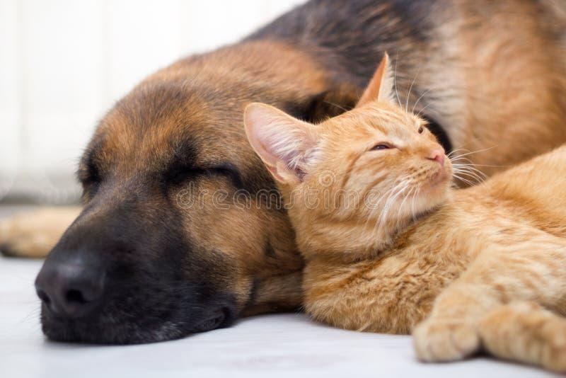 Katt och hund som tillsammans sover royaltyfria foton