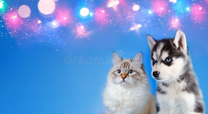 Katt och hund tillsammans, nevamaskeradpott, siberian skrovlig valp på blå mousserande bakgrund med stället för copyspace royaltyfria bilder