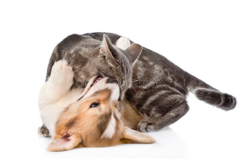 Katt- och hundkamp bakgrund isolerad white arkivbilder