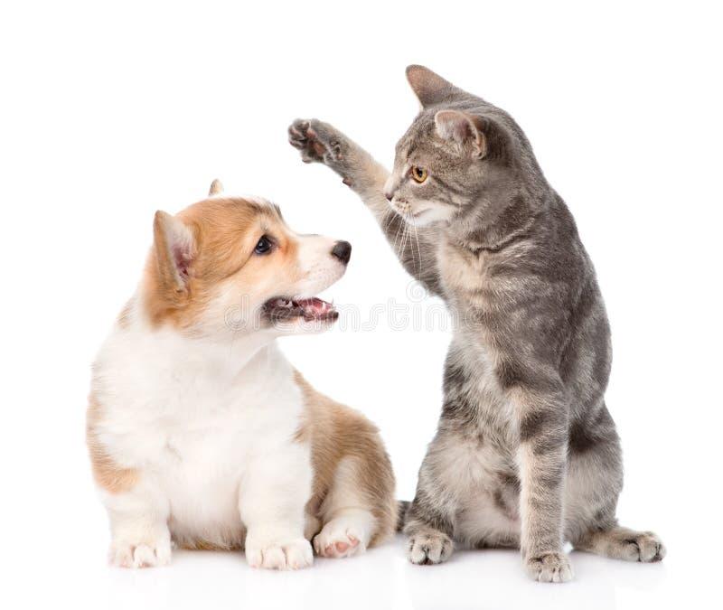 Katt- och hundkamp bakgrund isolerad white arkivfoto