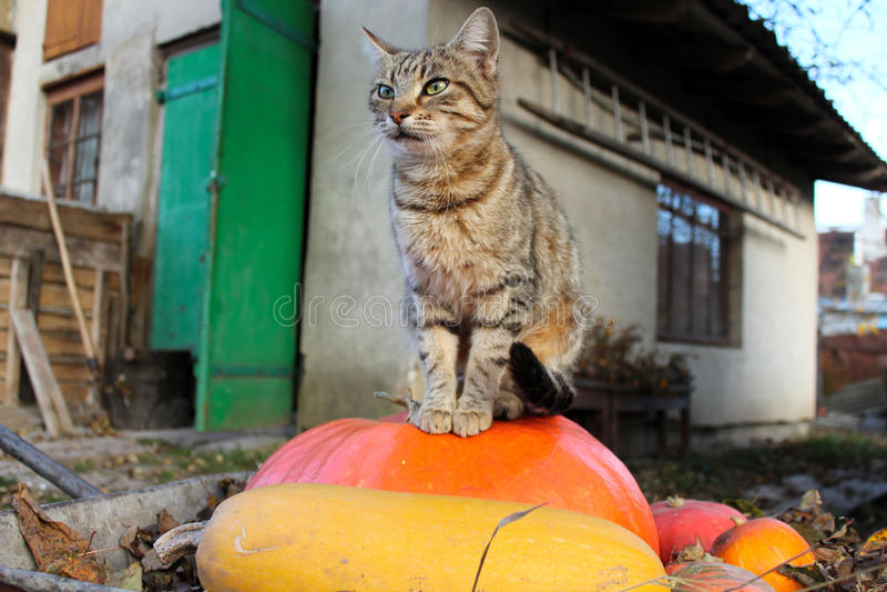 Katt och pumpa fotografering för bildbyråer