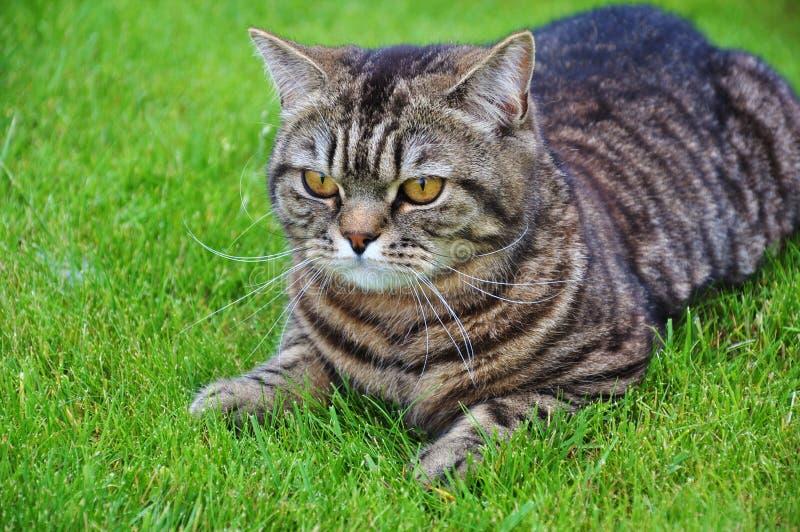 Katt På Gräset Royaltyfri Bild