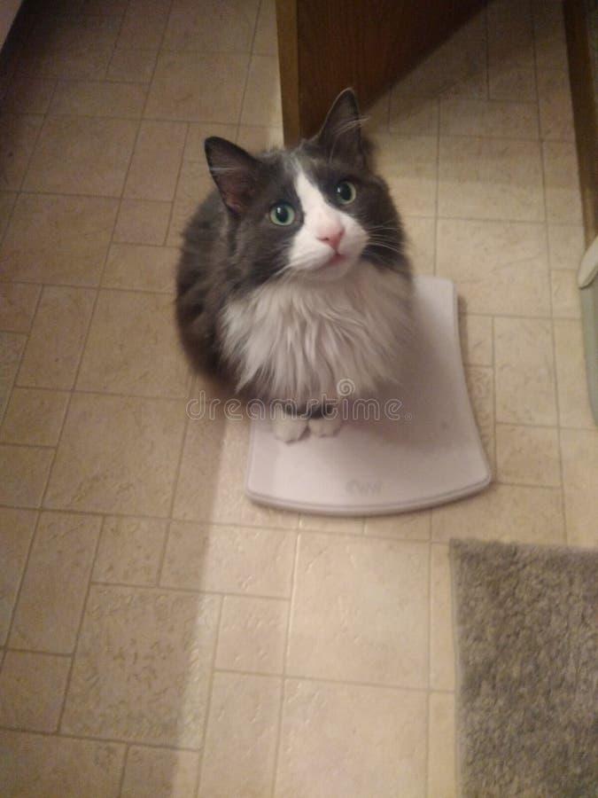 Katt på skala arkivbild