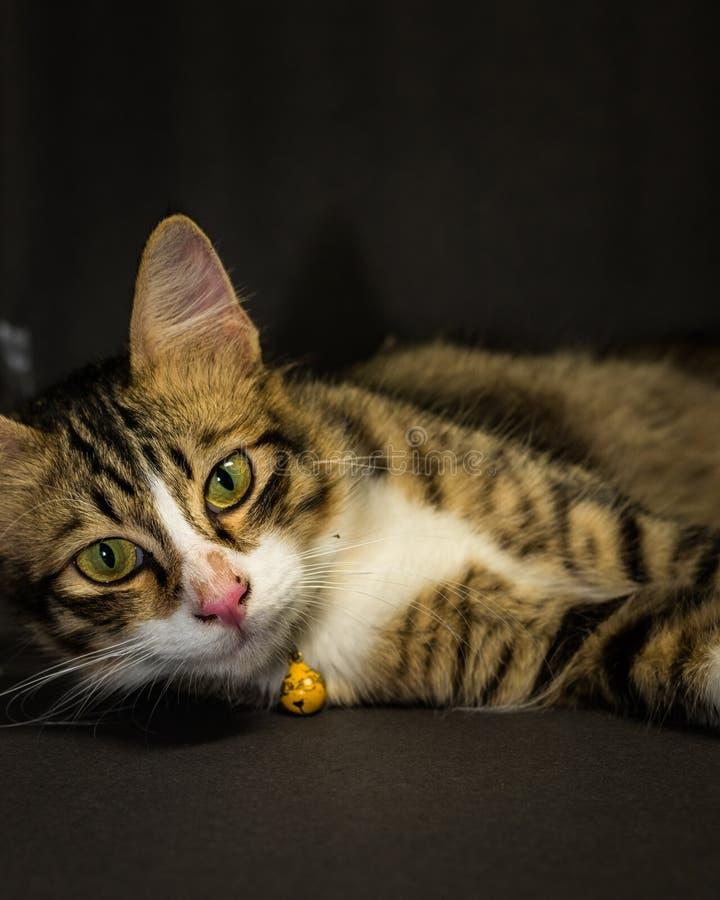 Katt på svart bakgrund i studio royaltyfri fotografi