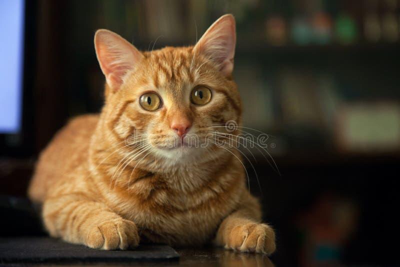 Katt på tabellen arkivfoto