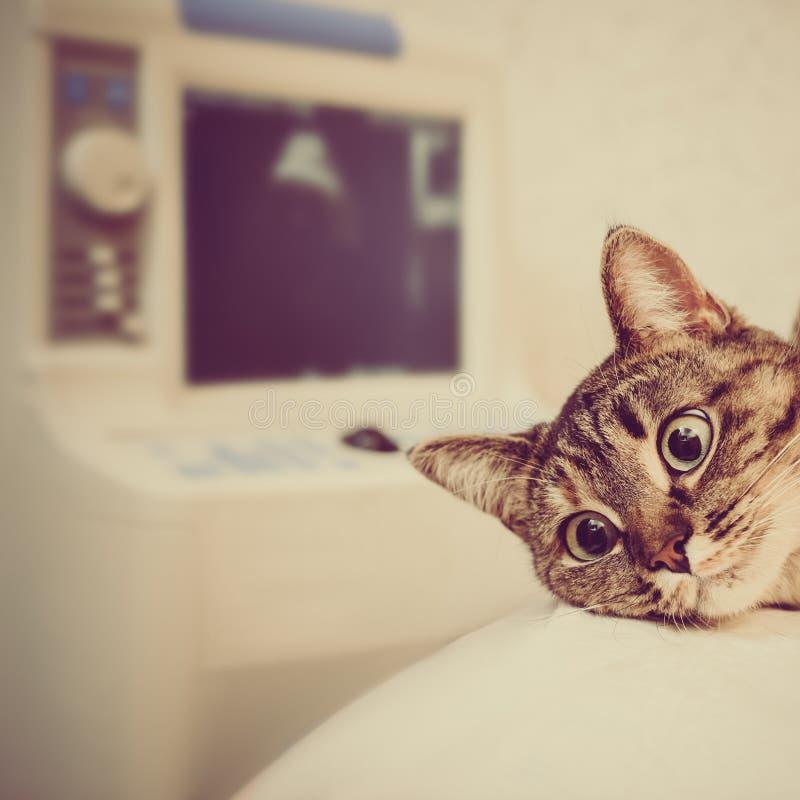 Katt på ultraljudsundersökning arkivfoto