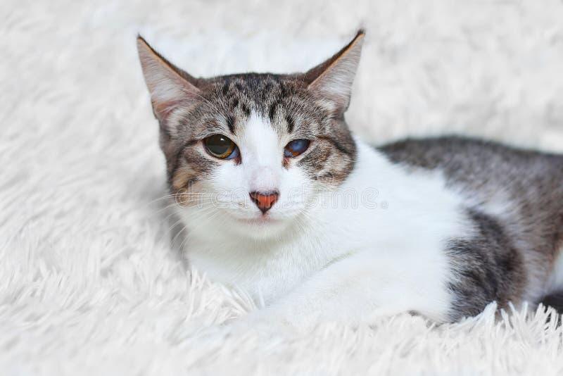 Katt som är sjuk som är sårad, räddat från stadsgator, blickar med misstro och skräck royaltyfri bild