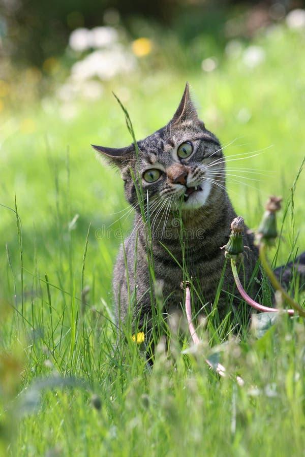 katt som äter gräs royaltyfria bilder