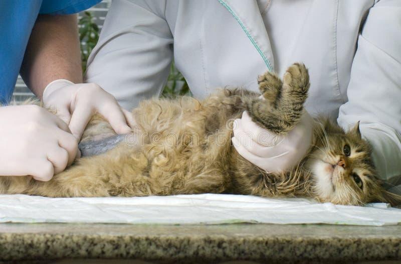 Katt som behandlas av veterinärer royaltyfri foto