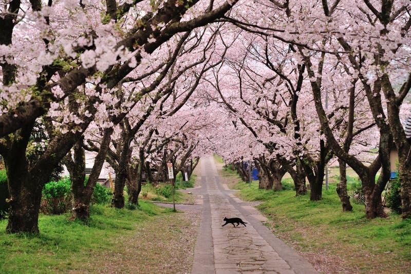 Katt som går under de sakura träden royaltyfria foton