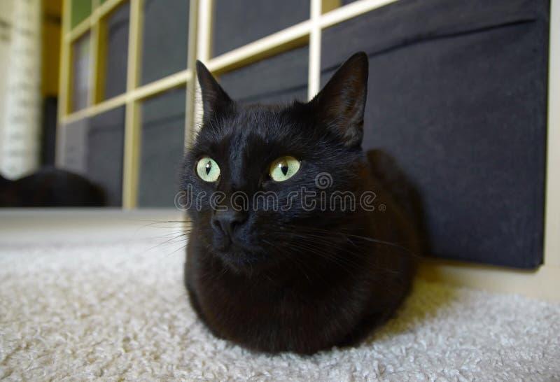 Katt som hemma ligger på mattan arkivbilder