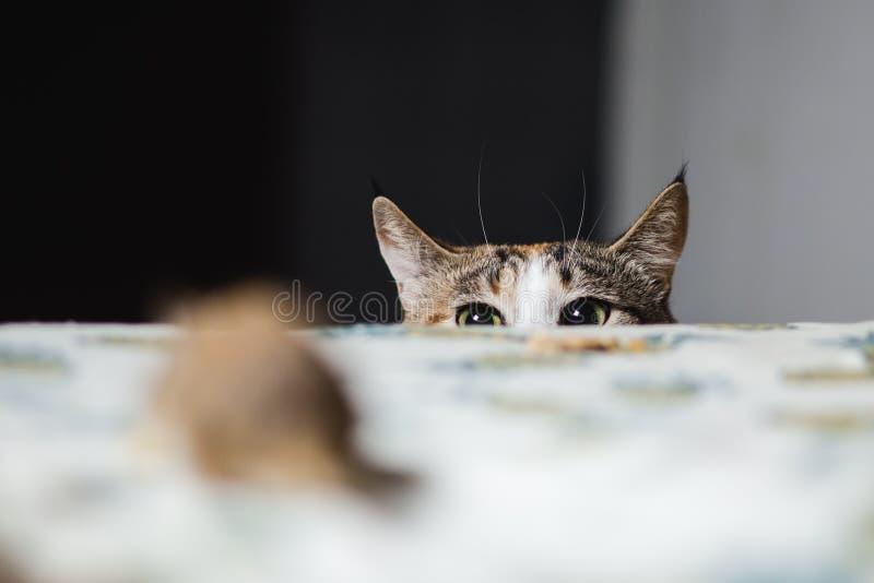 Katt som jagar till springråttamusen på tabellen Intelligenser för ` s för uppehälle en omkring arkivfoton