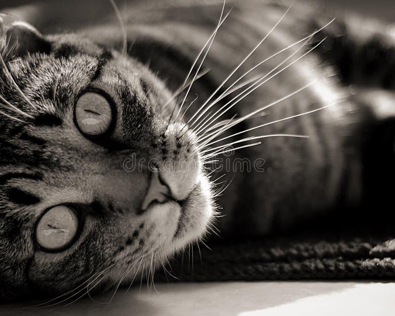 Katt som ligger på dess sida arkivbild