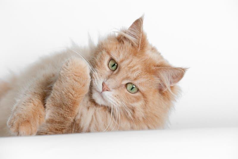 Katt som ligger på vitbakgrund royaltyfria foton