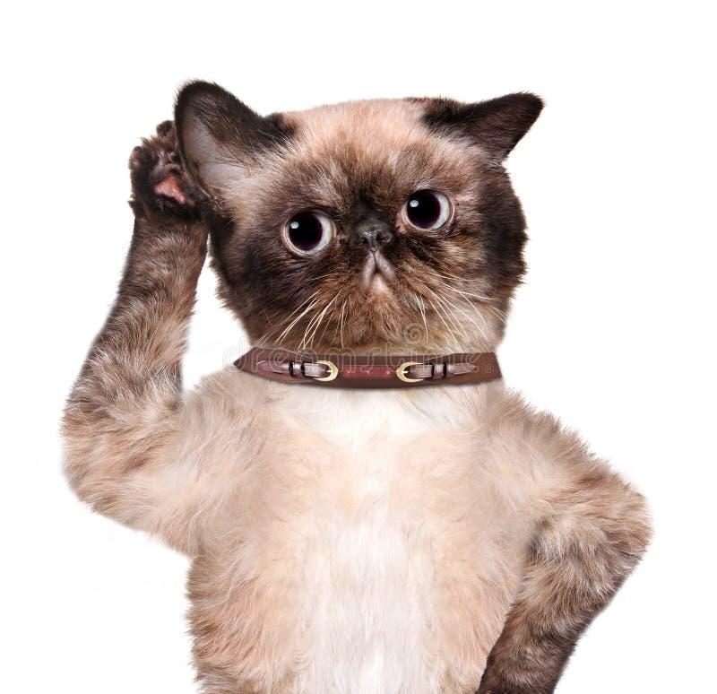 Katt som lyssnar med det stora örat arkivfoto