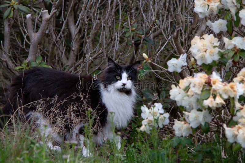Katt som patrullerar i buskarna arkivbild