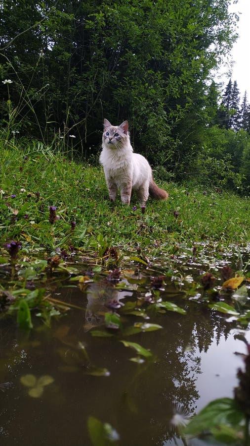 Katt som söker efter en mus och en flod arkivbilder