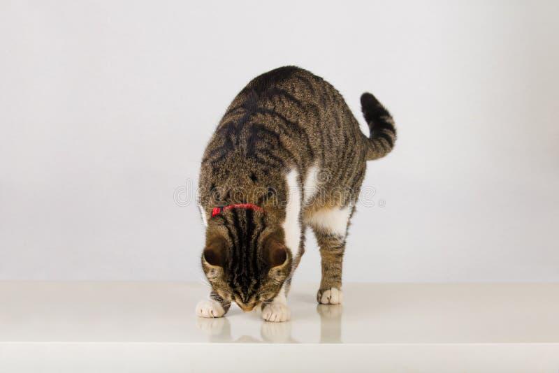 Katt som ser reflexion royaltyfria bilder
