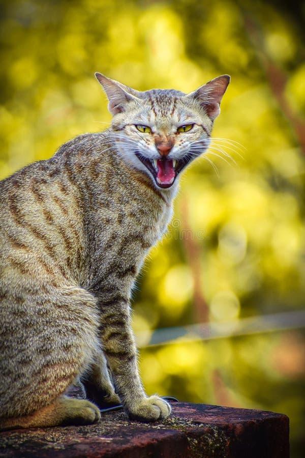 Katt som sitter den ilskna framsidan royaltyfri foto