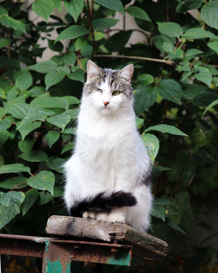 katt som smittas med katt- herpesvirus - katt- virus- rhinotracheitis eller chlamydiosisen - klamydiapsittaci, når att ha förlora arkivbilder