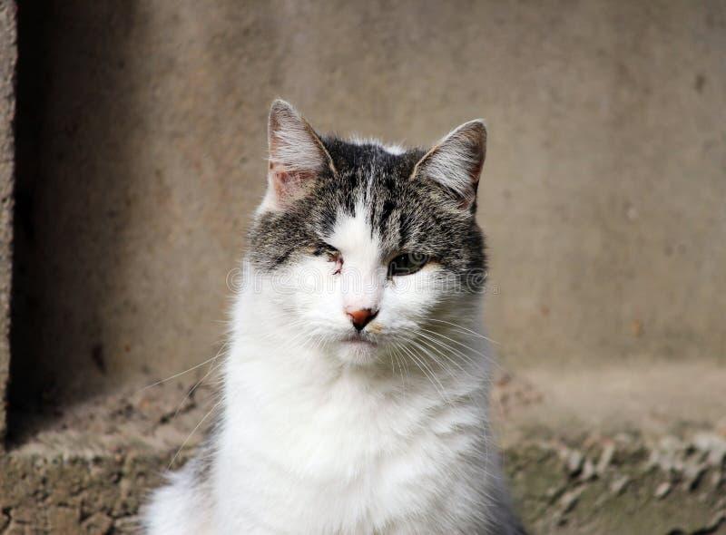 katt som smittas med katt- herpesvirus - virus- rhinotracheitis eller chlamydiosisen - klamydiapsittaci, når att ha förlorat ögat arkivbilder