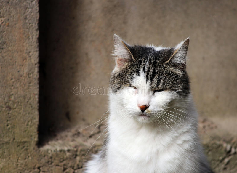 katt som smittas med katt- herpesvirus - virus- rhinotracheitis eller chlamydiosisen - klamydiapsittaci, når att ha förlorat ögat royaltyfria foton