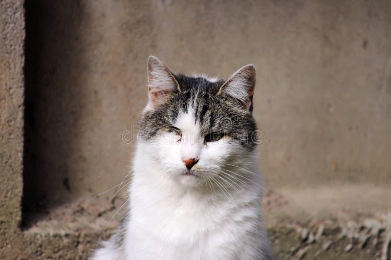 katt som smittas med katt- herpesvirus - virus- rhinotracheitis eller chlamydiosisen - klamydiapsittaci, når att ha förlorat ögat royaltyfri fotografi