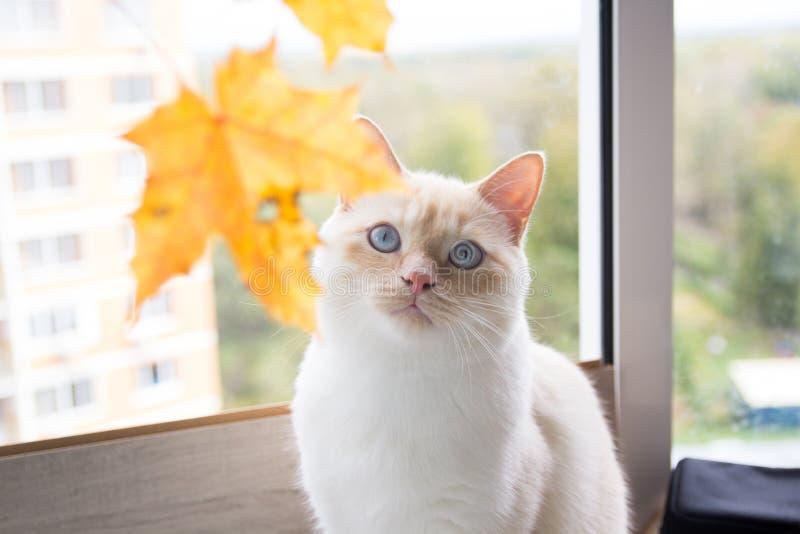 Katt som spelar med höstsidor royaltyfria foton