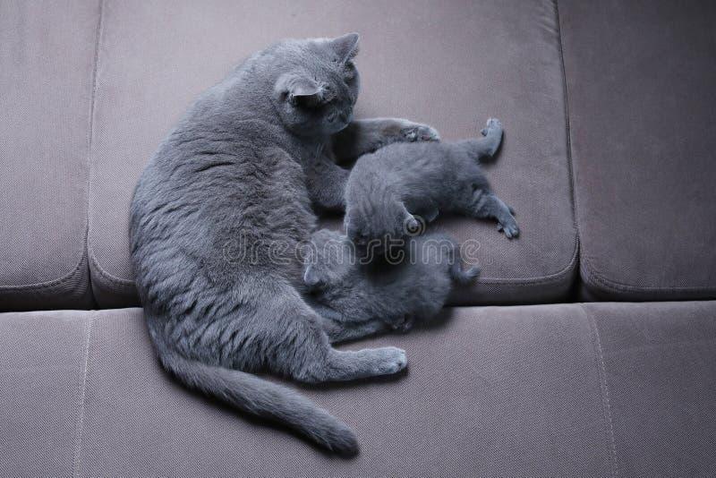 Katt som tar omsorg av hennes kattungar p? soffan royaltyfria bilder
