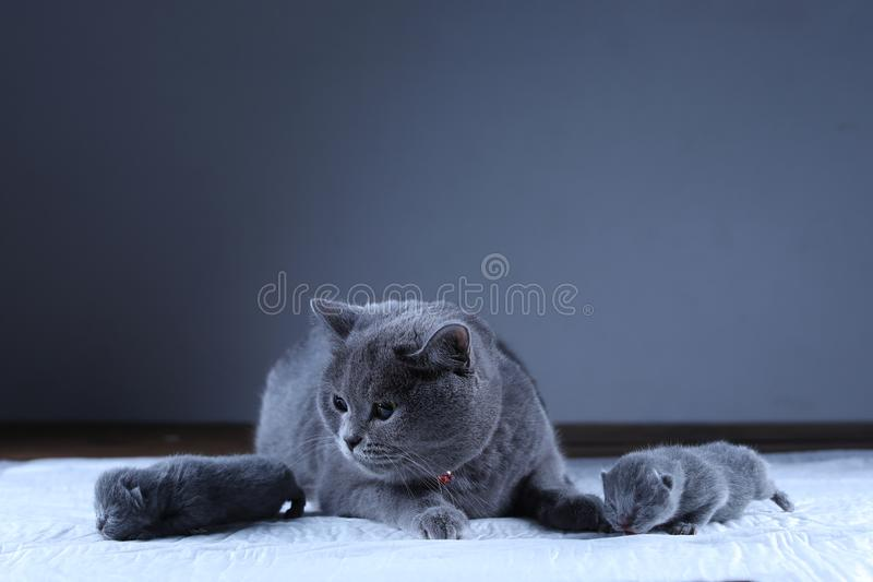 Katt som tar omsorg av hennes nyf?dda kattungar, svart bakgrund arkivfoton