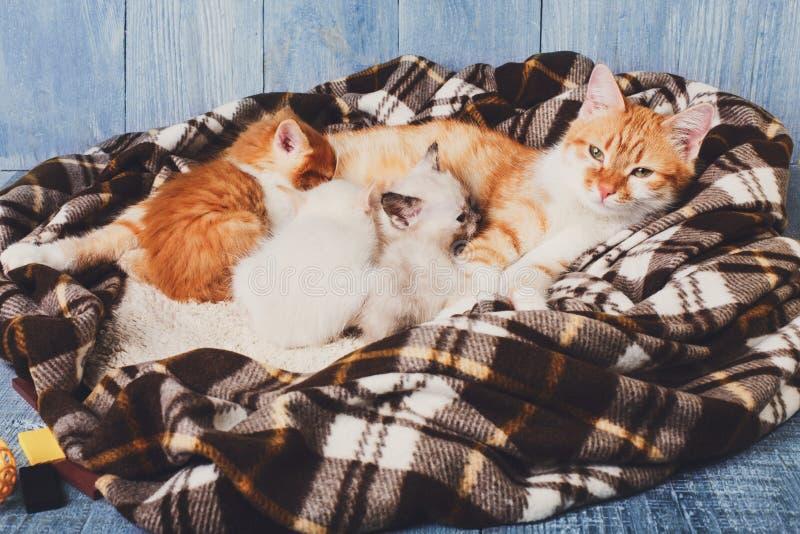 Katt som vårdar hennes lilla kattungar på plädfilten royaltyfri foto