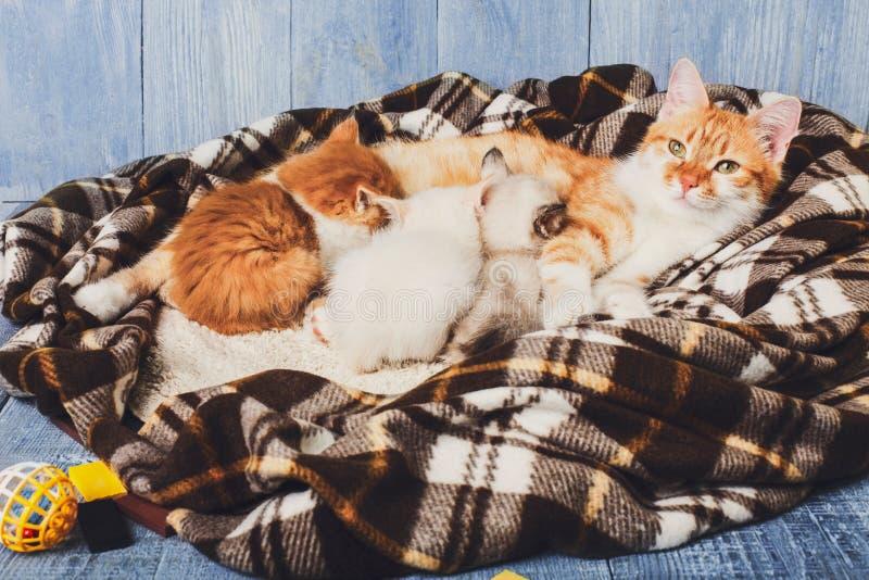 Katt som vårdar hennes lilla kattungar på plädfilten royaltyfria bilder