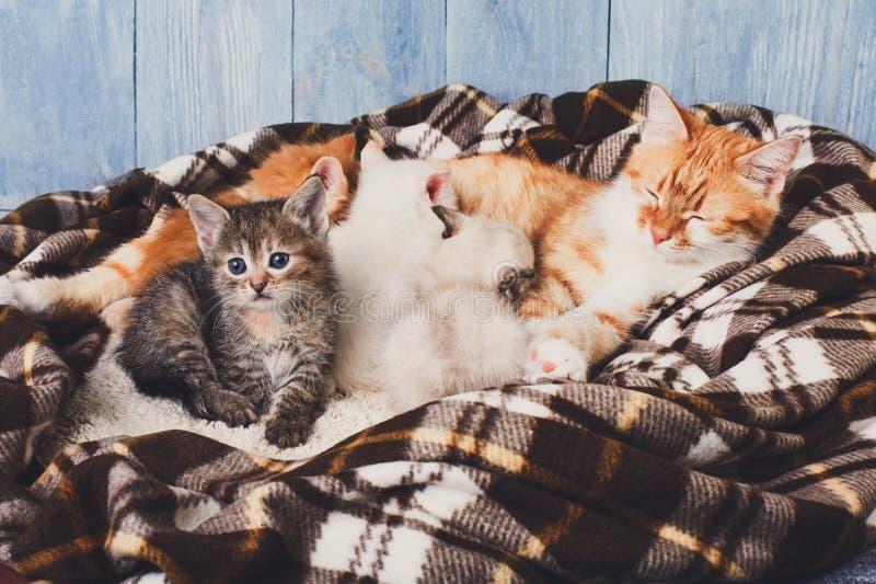 Katt som vårdar hennes lilla kattungar på plädfilten arkivbilder