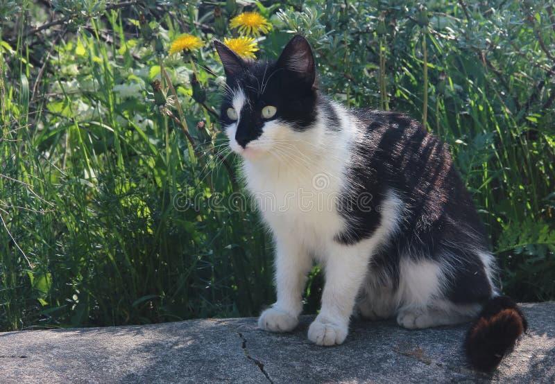 Katt svart med vita fläckar på en promenad mot gröngräs arkivfoton