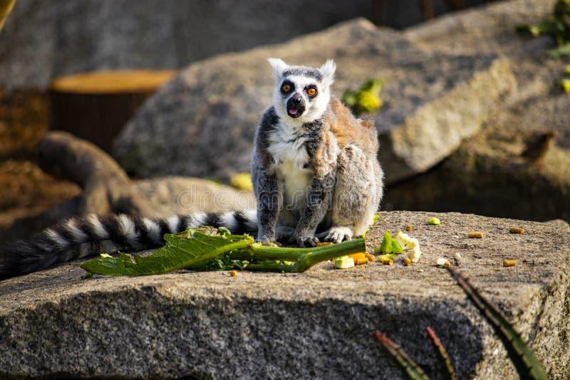 Katta, die auf einem Felsen isst etwas Nahrung sitzt lizenzfreies stockfoto