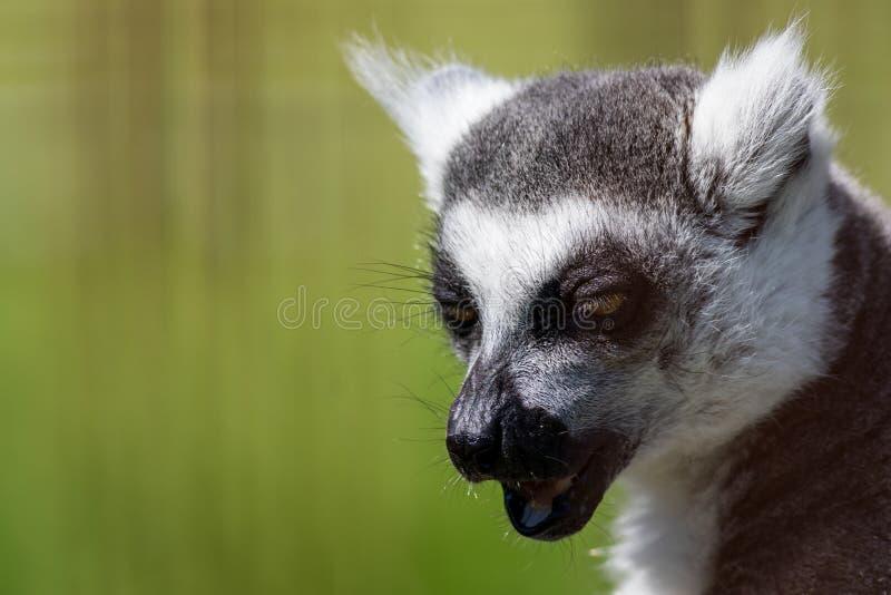 Kattanahaufnahmeporträt, ein großer grauer Primas mit goldenen Augen stockbild