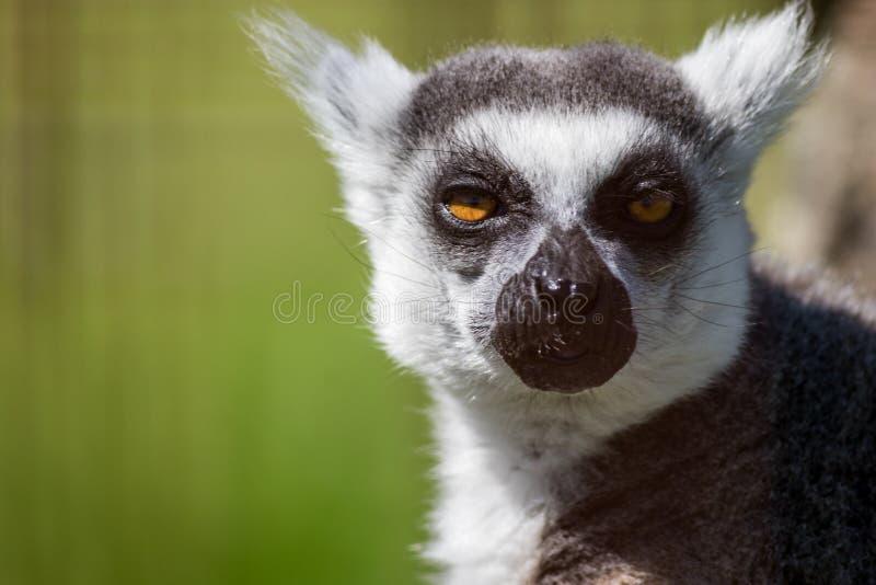 Kattanahaufnahmeporträt, ein großer grauer Primas mit goldenen Augen stockfotografie