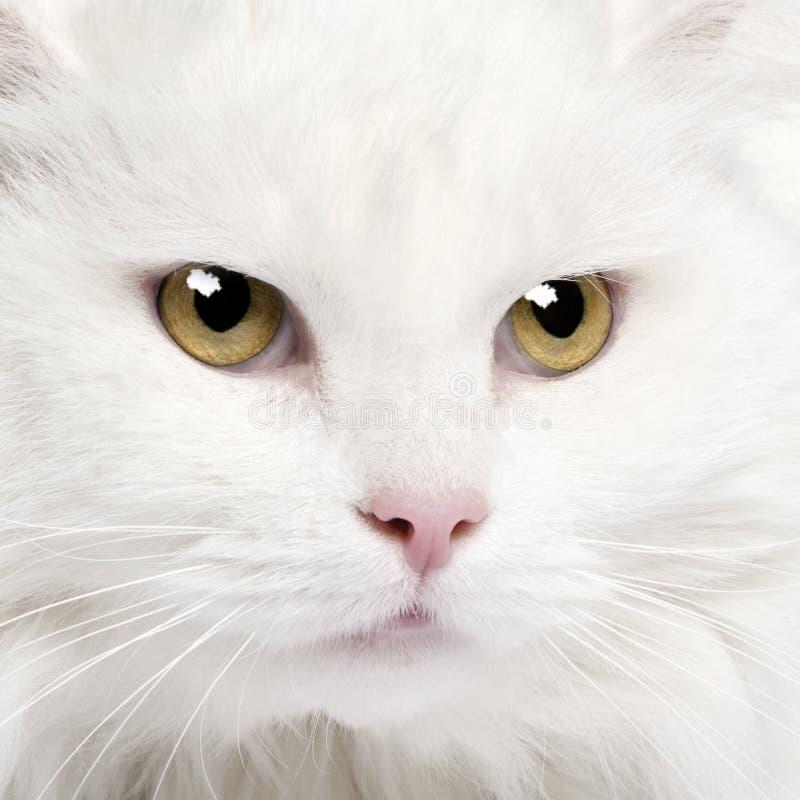 kattclose för angora 5 upp vita år royaltyfri fotografi